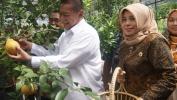 Demiz, Wagub Jabar Muji Budidaya Jeruk Dekopon di SMKN Pertanian Lembang, Hargana Bisa Nepi ka Rp. 120.000/kg